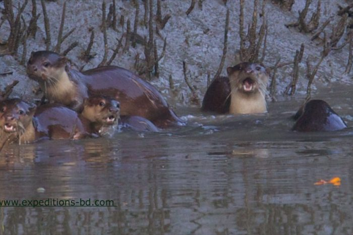 Trained otters fishing tour in Bangladesh